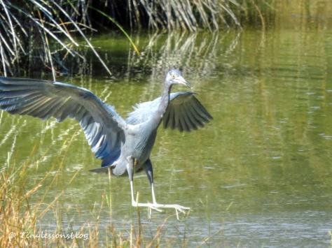 little blue heron landing Nov