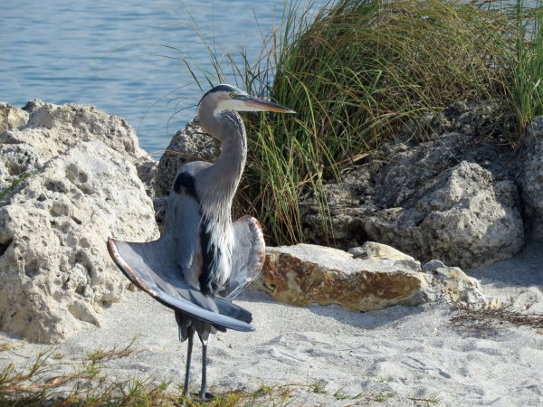 mister blue heron on the beach
