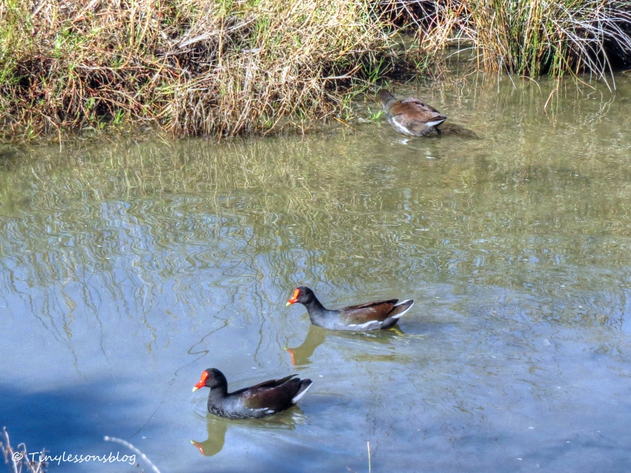 Moorhen family Nov 29