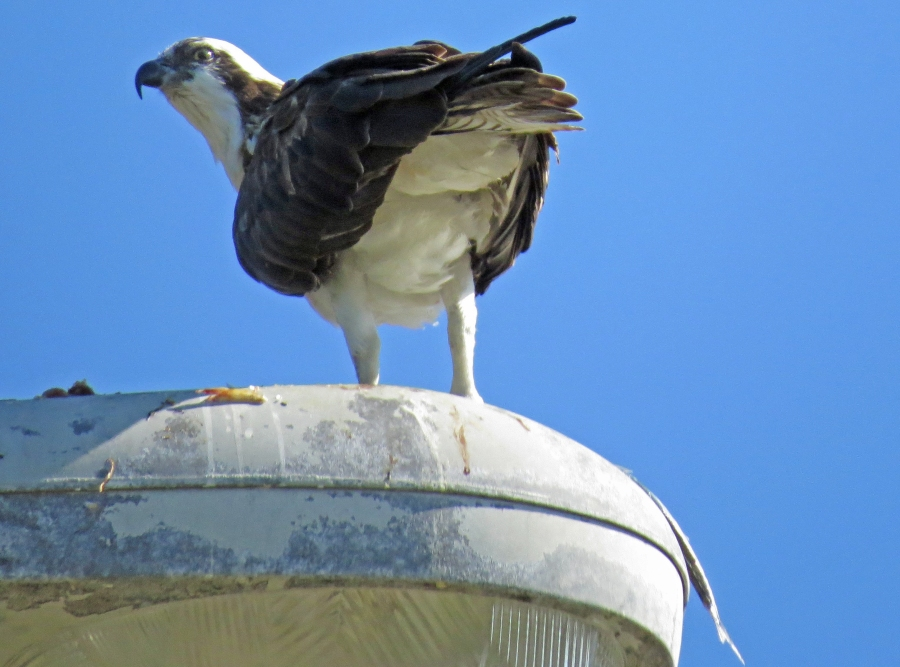 osprey stanley and fish