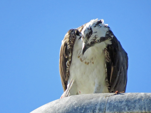 osprey stanley with scary fish