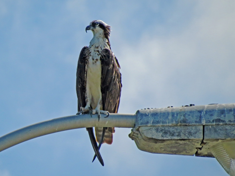 papa osprey in beginning of July