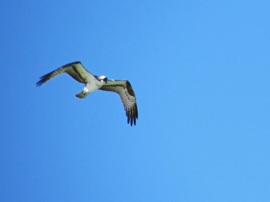 papa osprey over the ocean