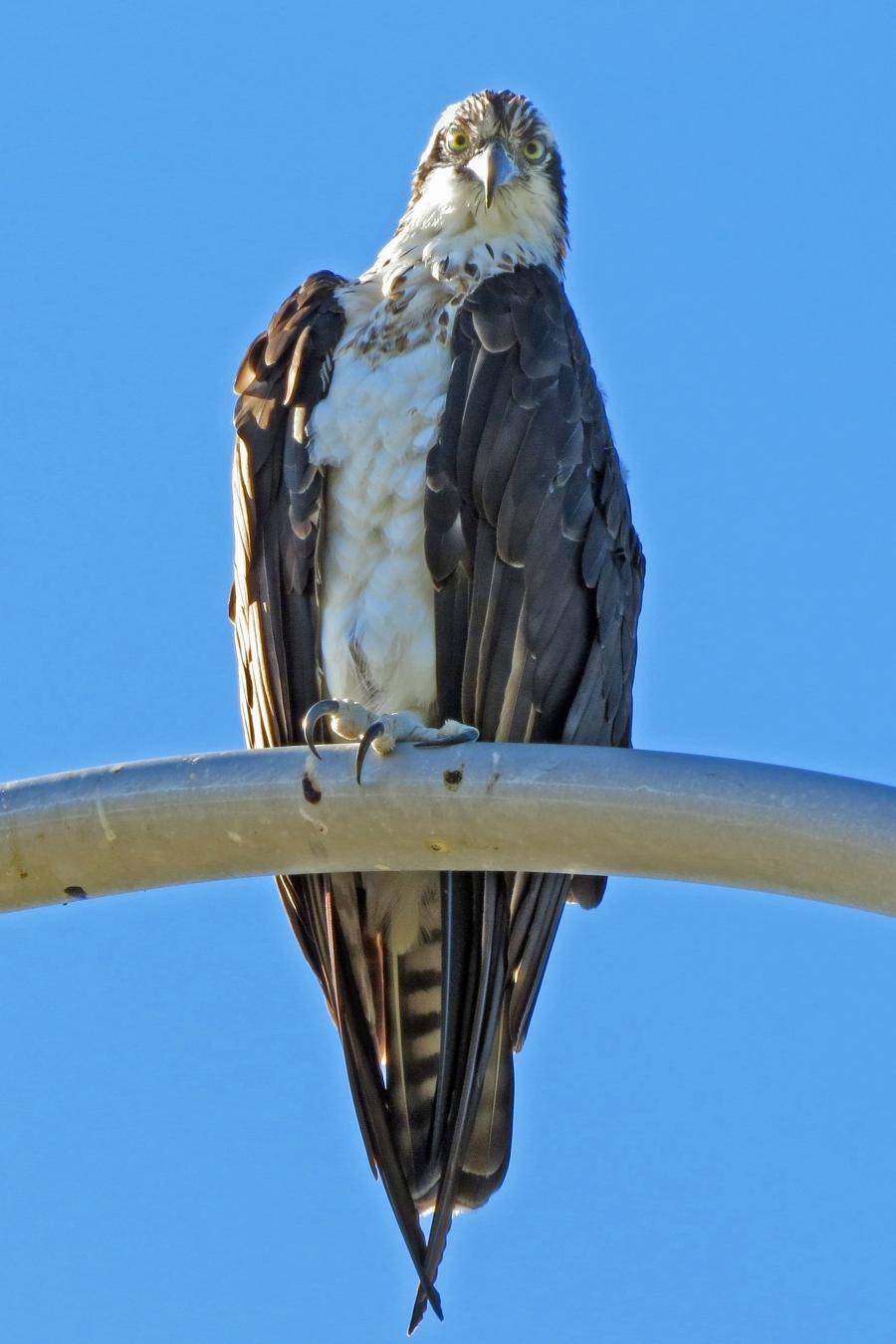 papa osprey sees tiny