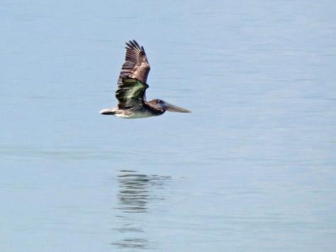 pelican flying low 2