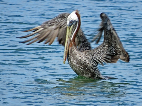pelican just taking off 2