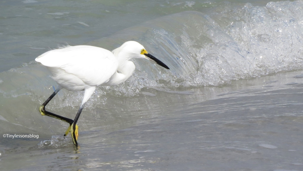 snowy egret and an ocean wave 3