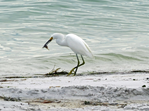snowy egret fishing on the bayside Sand key clearwater fl