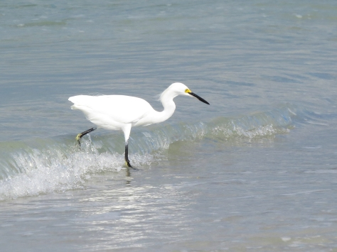 A Snowy Egret fishing on the ocean shore...