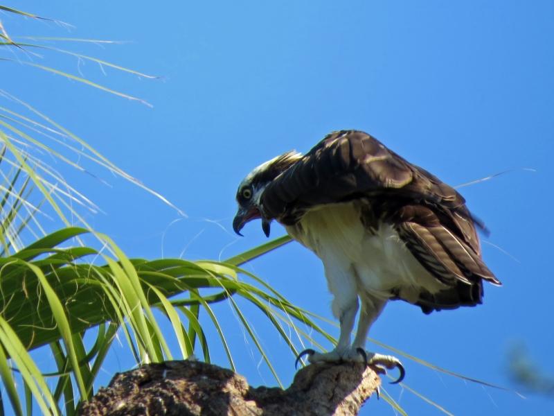steve the third osprey is talking