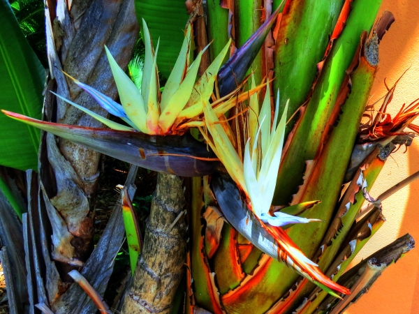 Late bloomers...White Bird of Paradise next to the bay...