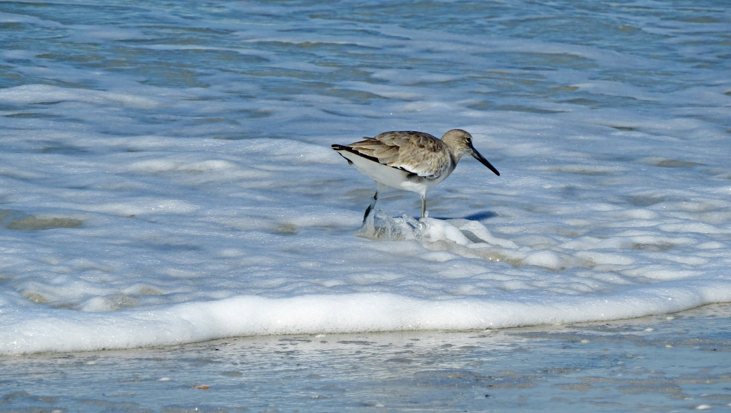 willet getting his feet wet