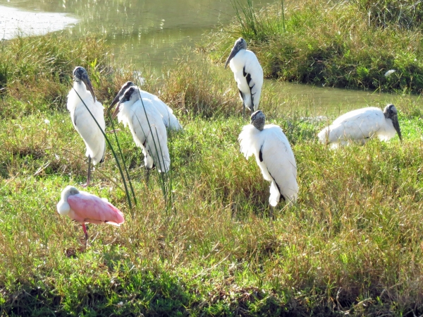 wood storks and roseate spoonbill