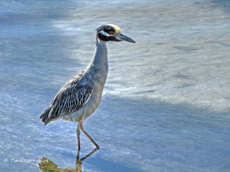 yellowcrowned night heron hunting on the bay nov 29