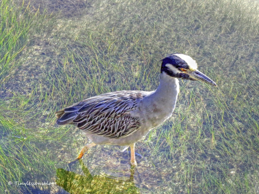 Yellowcrowned night heron on the bayside nov 29