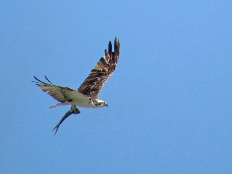 another osprey with half fish flying