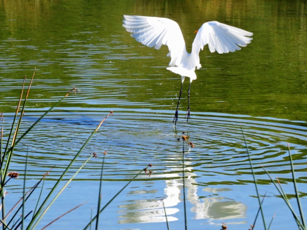 great egret flying_tm