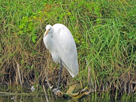 A Great Egret huddling in the shelter of some bushes...