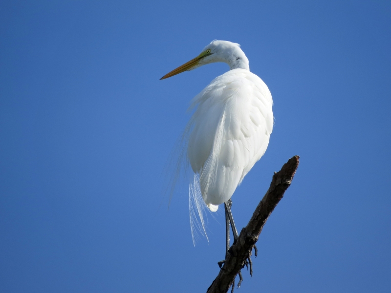 HMI great egret 1