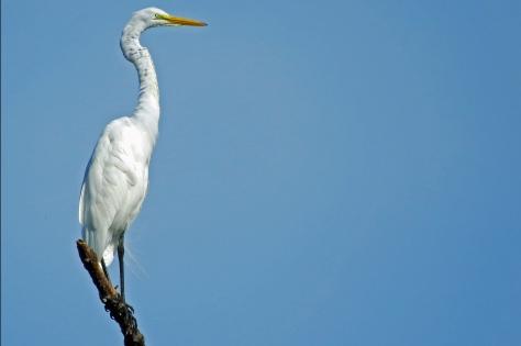 HMI park Great egret 4
