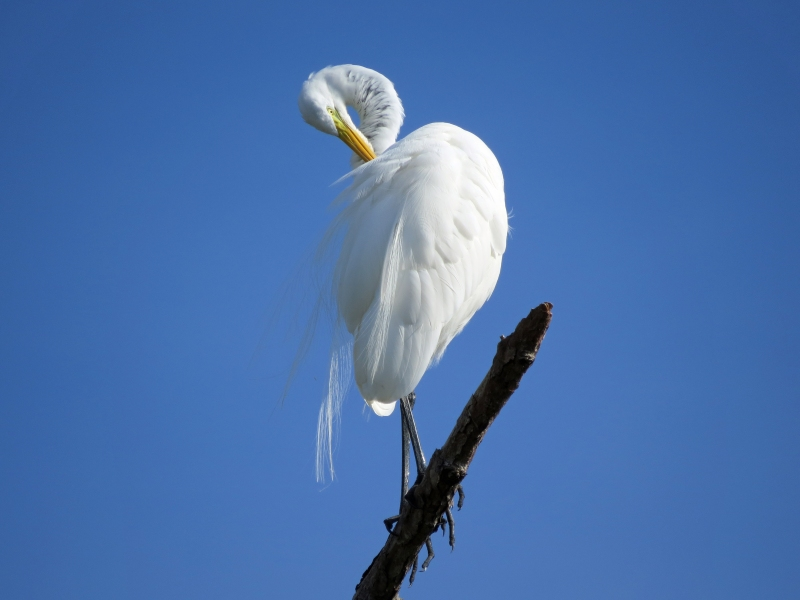 HMI park great egret grooming 2