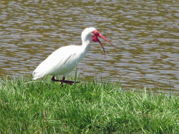 ibis singing