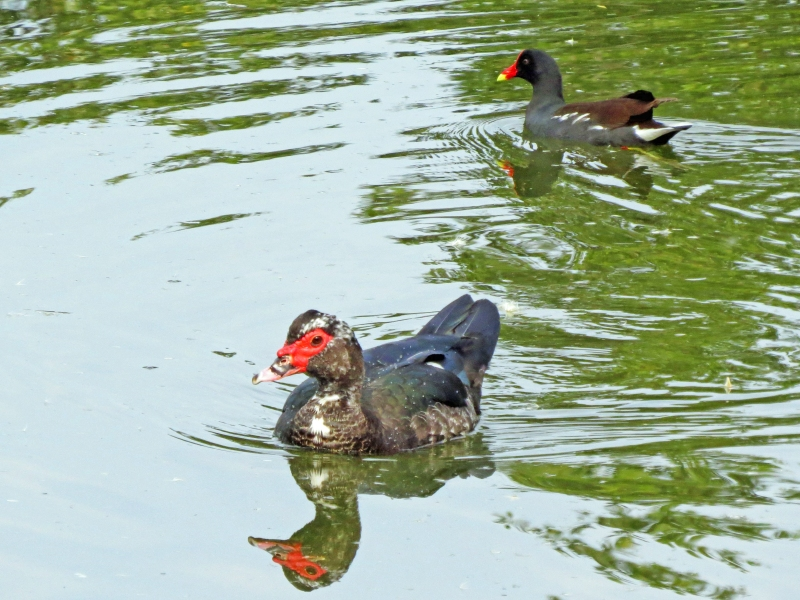 muscovyduck and moorhen