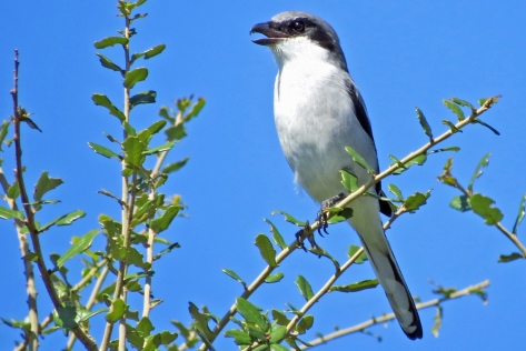 A Northern Mockingbird greets with a beautiful song...