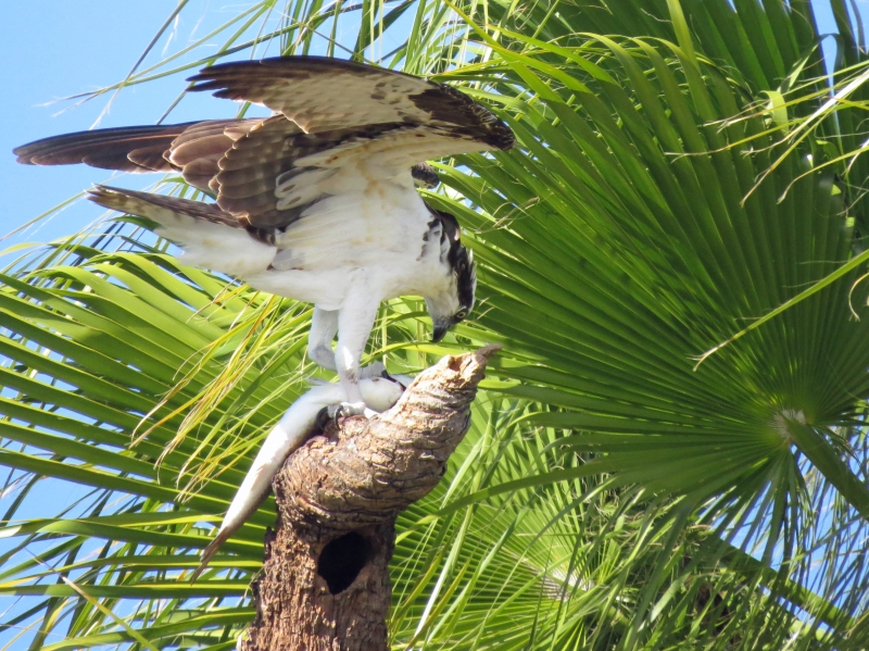 Osprey with a fish Clearwater FL