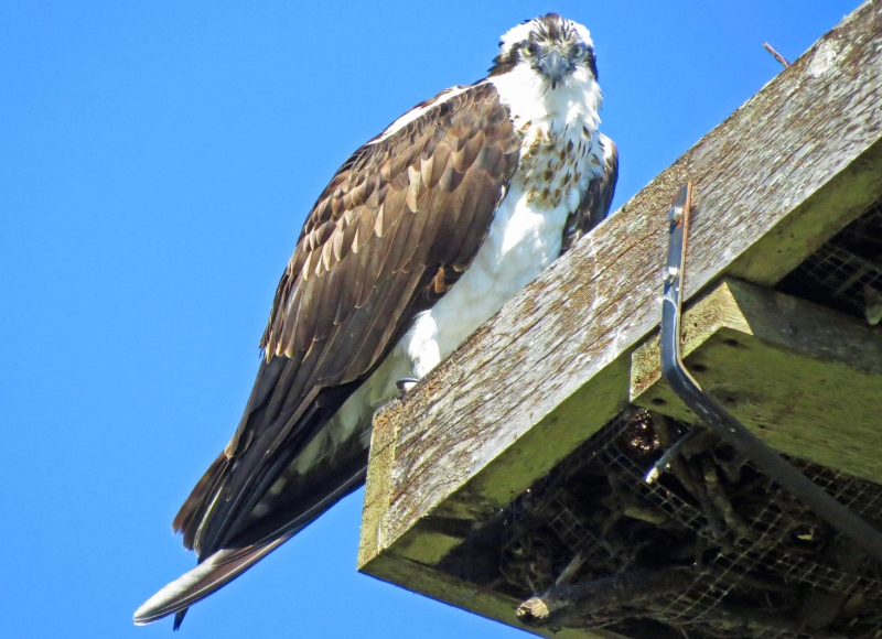 papa osprey CF