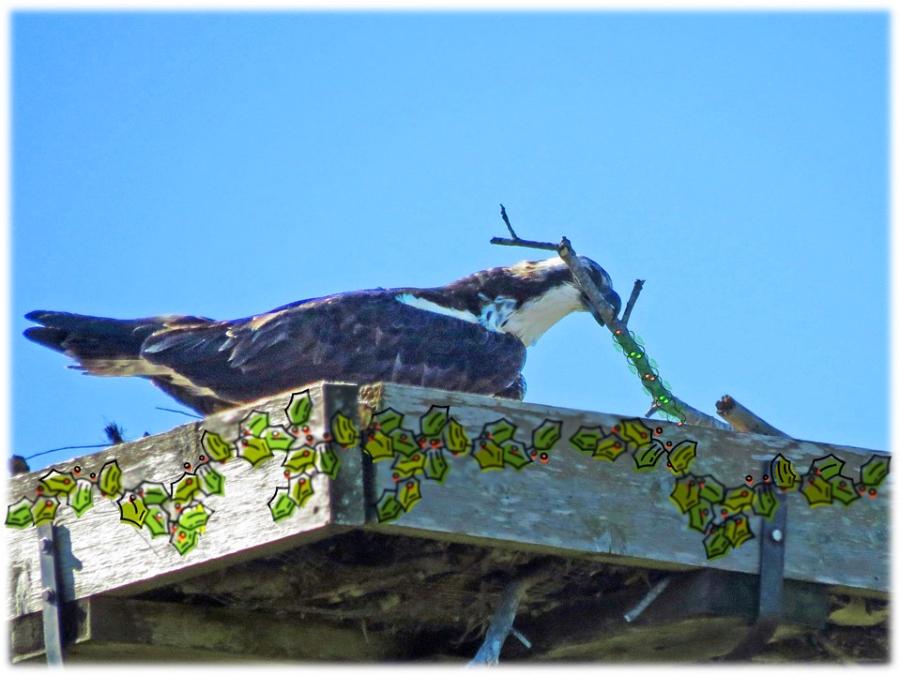 papa osprey decorating his nest for xmas