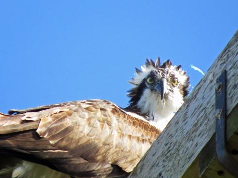 papa osprey discovers tiny