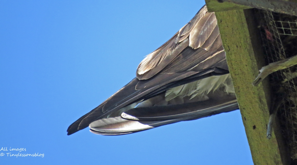 Osprey tail feathers
