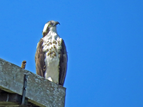 papa osprey sees the turkey vulture3