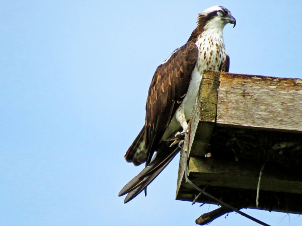 papa osprey sleeping w a fish in his talons_tm