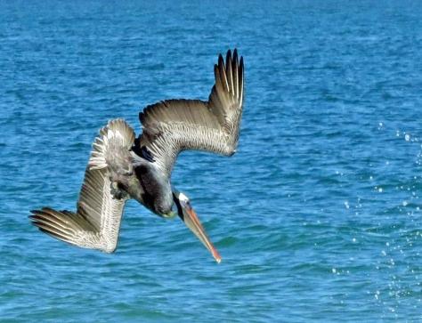 pelican diving 2 (2)