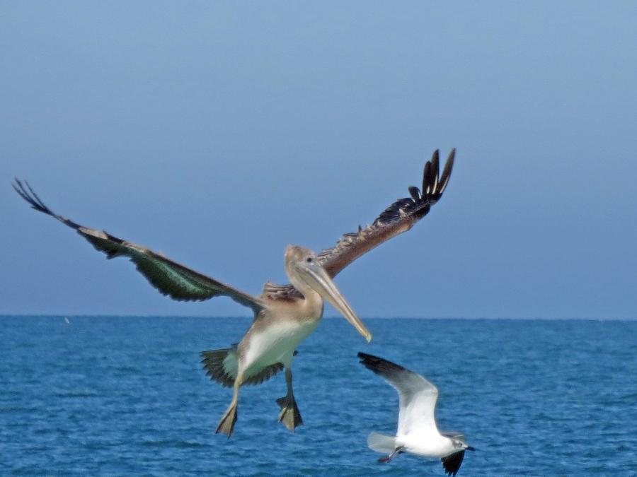 pelican landing and tern flying