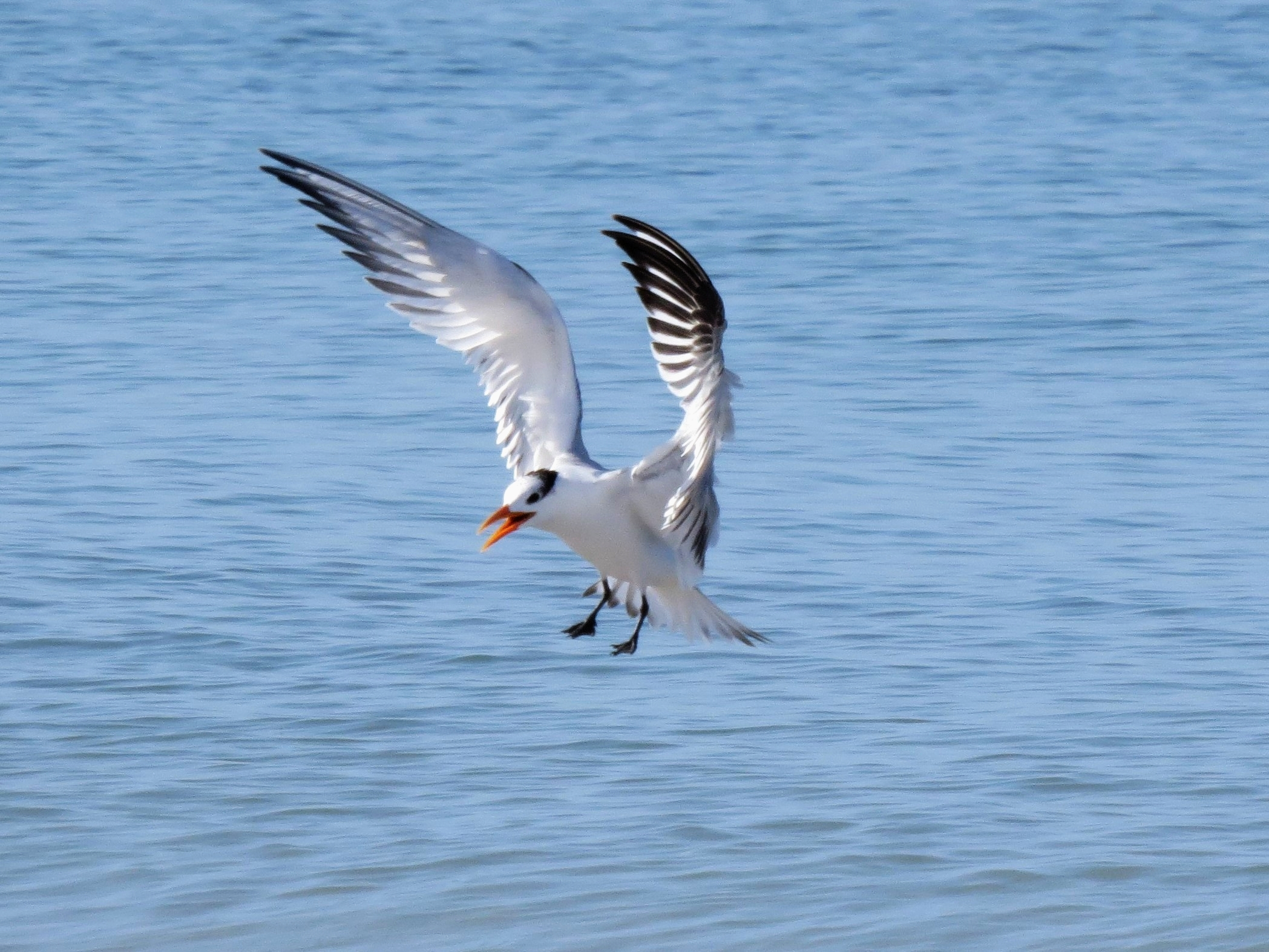royal tern coming in for landing tm