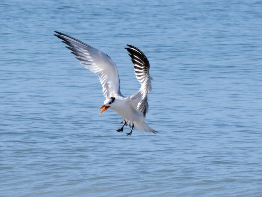 royal tern coming in for landing tm