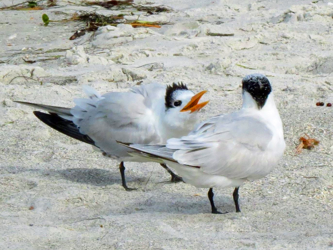 royal tern mom and child