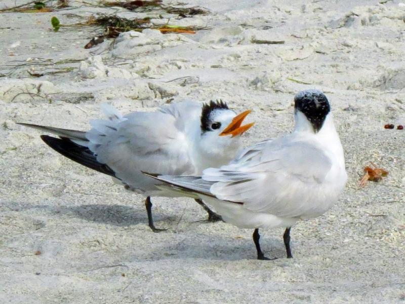 royal tern mom and child