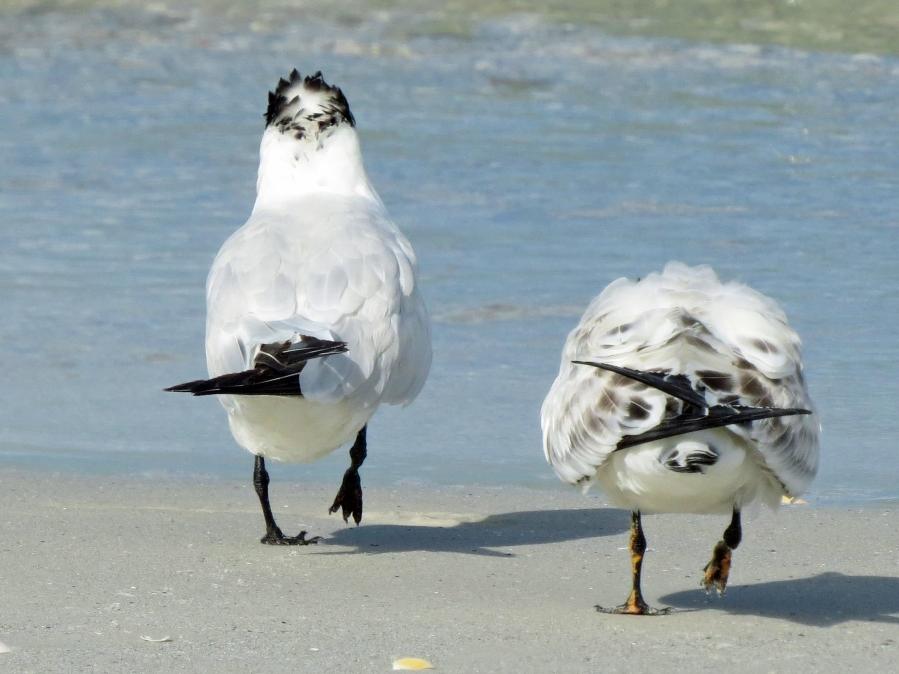 royal tern mom and teen