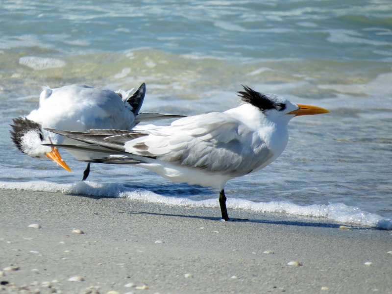 two royal terns