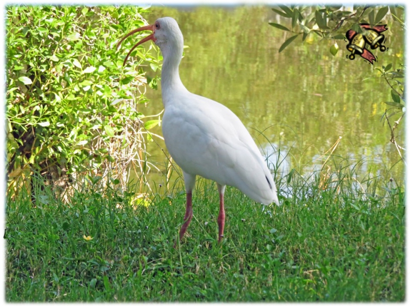 singing ibis