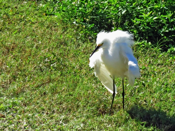 snowy egret shaking herself tm