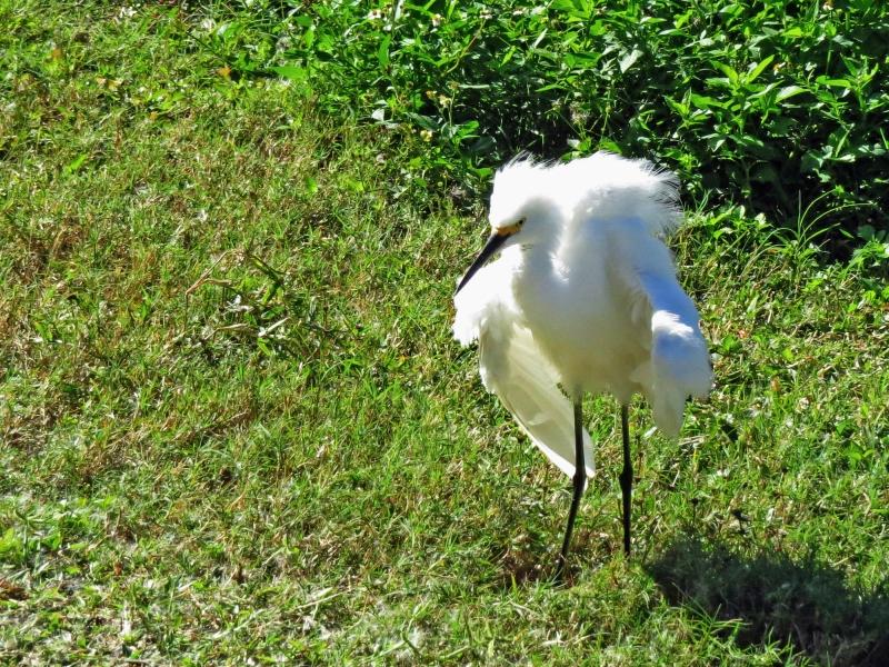 snowy egret shaking herself tm