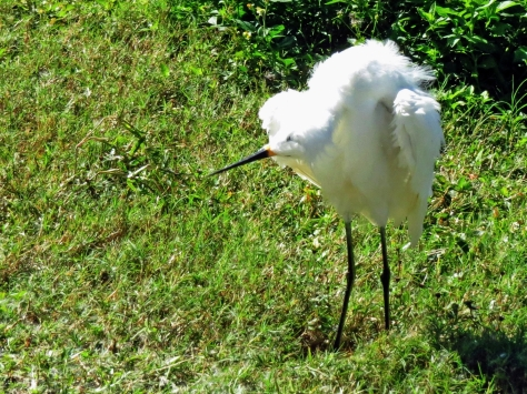 snowy egret shaking some more tm