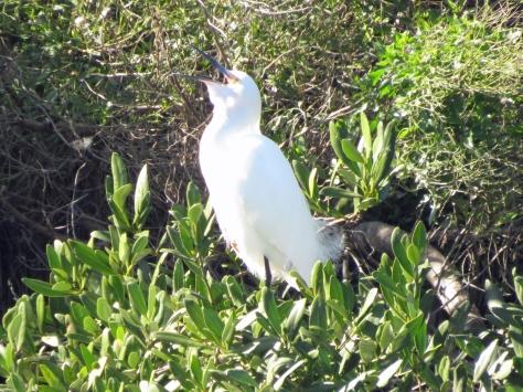 snowy egret singing