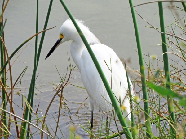 snowy egret starts to develop plumes