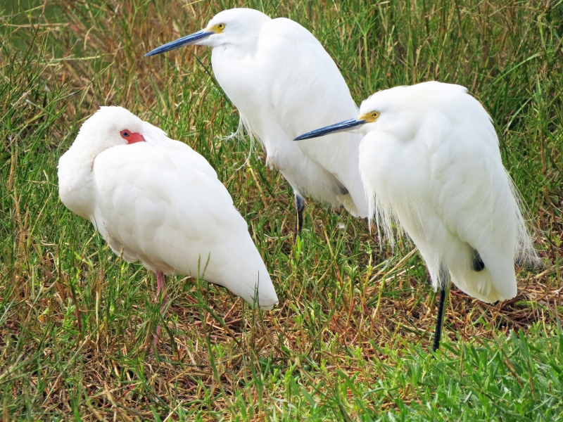 snowy egrets and an ibis huddling CF